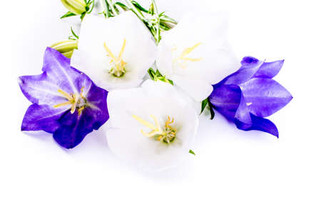 close-up of Campanula or bellflower flowers on white background with copy space. floral macro. spring and summer border template . greeting and holiday card or postcard