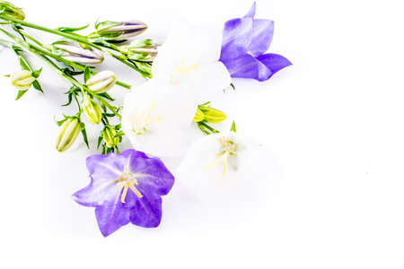 close-up of Campanula or bellflower on white background with copy space. floral macro. spring and summer border template . greeting and holiday card or postcard