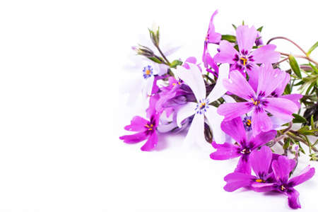 Close-up of Phlox isolated on white background with copy space. Macro spring and summer border template floral. Greeting and holiday card.