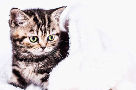 Scottish Straight kitten in a plaid on white background