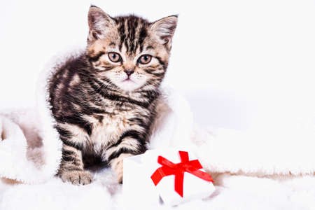 Scottish Straight kitten in a plaid with gift box on white background Stock Photo