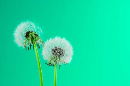 Dandelion blowing Stock Photo