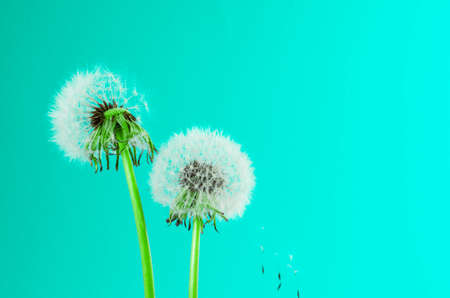 Dandelion seeds on colorful background. card, cover and deco. Greeting card. Spring border with free space Stock Photo