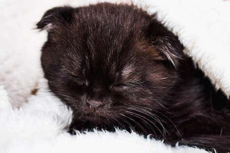 small sleeping kitten pet. Scottish fold kitten