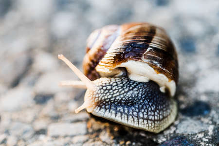 snail on blurred macro background. Helix pomatia Gastropoda. Roman snail gastropods, edible snail or escargot. mollusk family Helicidae