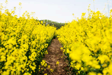 Flowering rapeseed. Country road across rape field. Spring background. Canola or colza with dirt road. blooming rape or Brassica napus. Springtime and summer border