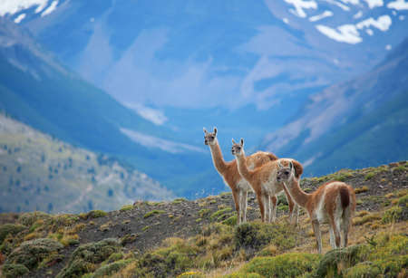 patagonia: Three guanacoes in Torres del Paine national park