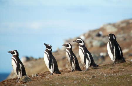 Five magellanic penguins on the sea shore