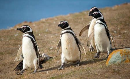 Four Magellanic penguins walking Stock Photo - 10410730
