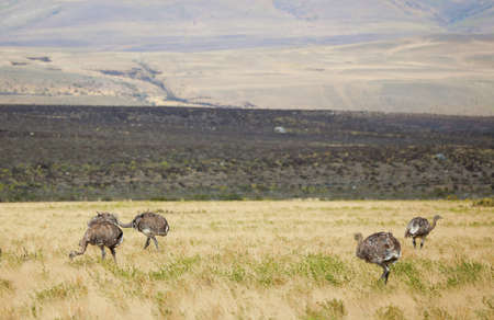 Rheas in the Southern Patagonia, Chile Stock Photo - 10410717
