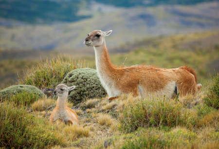 pain�: Famiglia guanaco in America del sud, Cile, il parco nazionale Torres del Paine