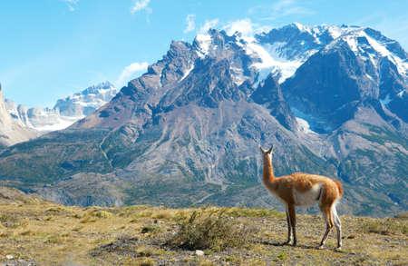 トレス デル パイネ国立公園内の山々 を眺めグアナコ
