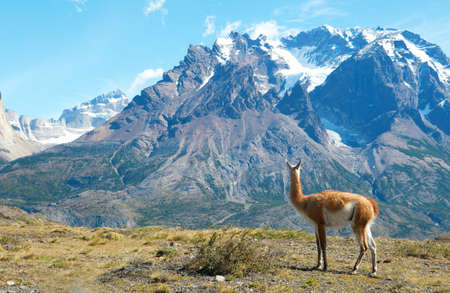 chilean: Guanaco in Torres del Paine national park admiring the mountains
