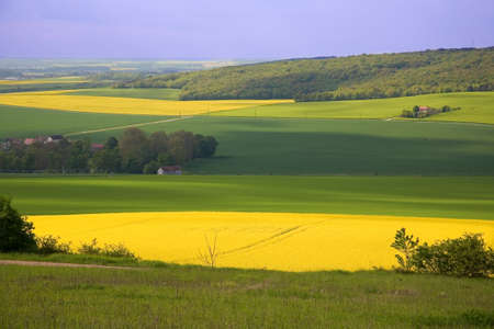 napus: Panoramic view of rapeseed field and green meadows