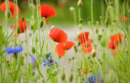 Beautiful blossoming poppies and cornflowers photo