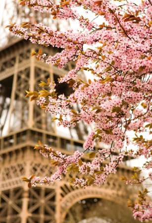 Spring in Paris. Bloomy cherry tree and the Eiffel Tower. Focus on flowers Stock Photo