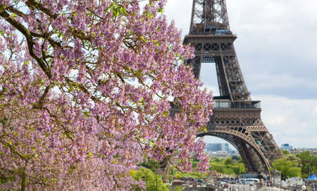 eiffel tower architecture: Spring in Paris. Blossoming jacarandas and the Eiffel Tower. Focus on jacarandas