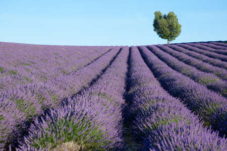 provence: Beautiful lavender field near Valensole, France
