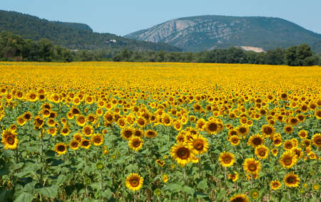 Beautiful sunflower field photo