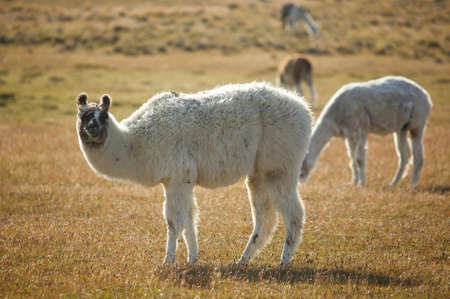Patagonean lamas in Chile, South America Stock Photo - 10535625