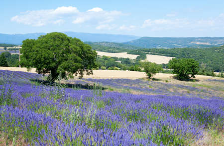 french countryside: Beautiful lavender field in Provence, France