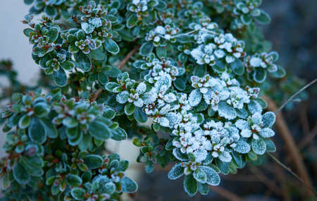 hoarfrost: Green plants covered with hoarfrost and snow Stock Photo
