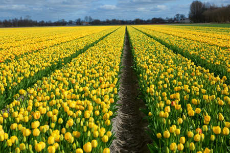 Beautiful tulip field in Holland Stock Photo - 13104654