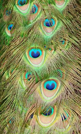 Closeup of beautiful peacock feathers photo