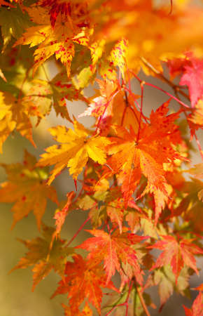 Beautiful red japanese maple leaves at fall photo