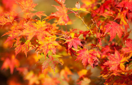 japanese maples: Beautiful red japanese maple leaves at fall Stock Photo