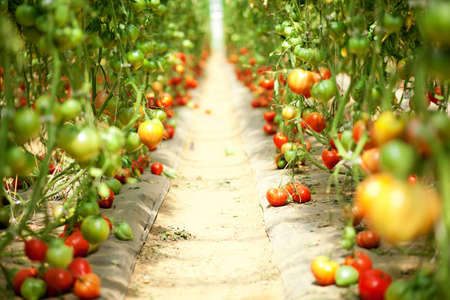 Many tomatoes growing in a greenhouse