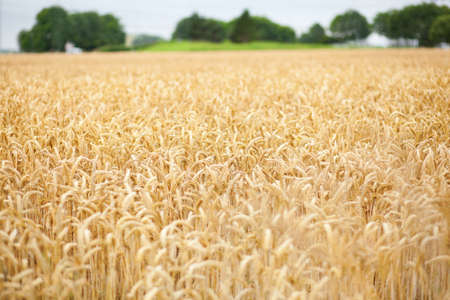 Beautiful golden cereal field Stock Photo - 14752727