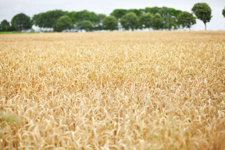 gramineous: Beautiful golden field of cereals Stock Photo