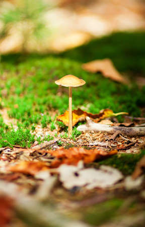 fairy toadstool: Poisonous mushroom in a forest Stock Photo