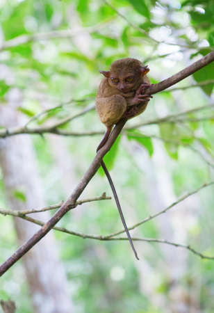 primate: Philippine tarsier  Tarsius syrichta , the smallest primate