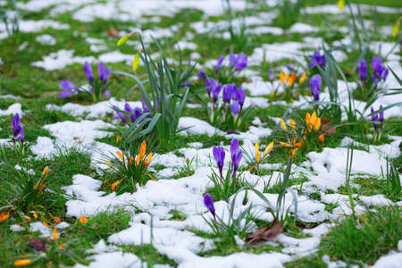 Colorful crocuses and snow photo