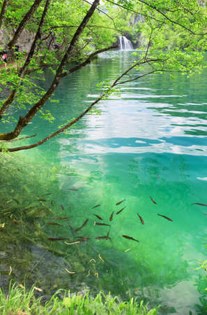 Fish in pure transparent water of the Plitvice lakes photo