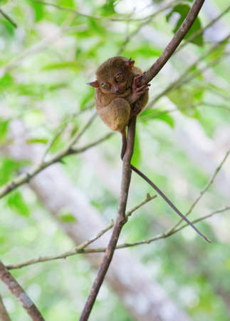 primate: Philippine tarsier (Tarsius syrichta), the smallest primate Stock Photo