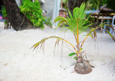 Coconut brote que crece en una playa de arena blanca tropical photo
