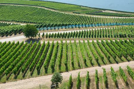 rudesheim: Vineyards in Rudesheim am Rhein