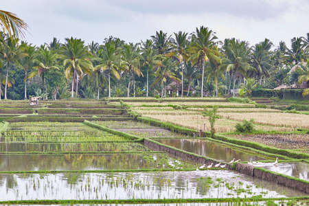 Scenic view of rice fields on a rainy weather near Ubud, Bali, Indonesia photo