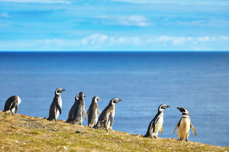 Many Magellanic penguins in natural environment on Magdalena island in Patagonia, Chile, South America