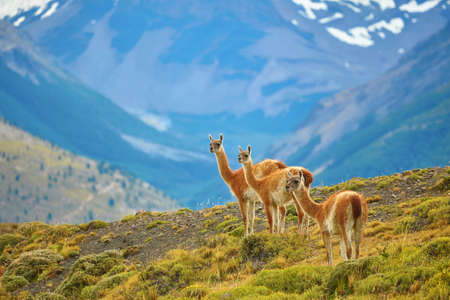 Three guanacoes in Torres del Paine national park, Patagonia, Chile Stock Photo