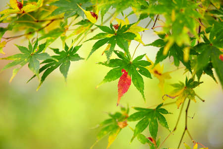 reddening: Beautiful reddening japanese maple on a fall day