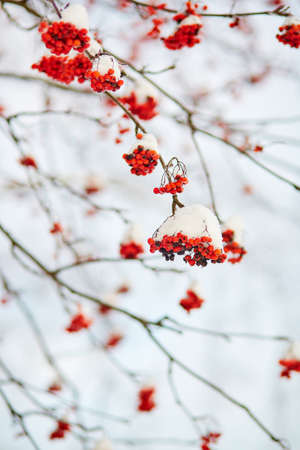 sorbus: Mountain-ash berries covered with snow