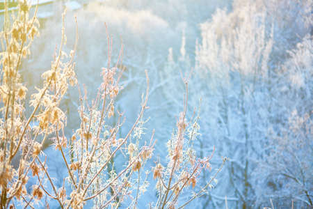 hoar frost: Branches covered with hoar frost on a sunny winter day Stock Photo
