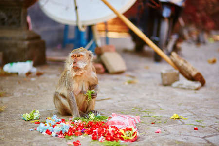 offerings: Monkey eating offerings in a Balinese temple, Indonesia Stock Photo