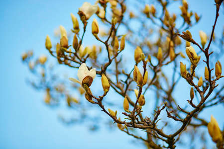 magnolia tree: White magnolia tree blossom on a spring day