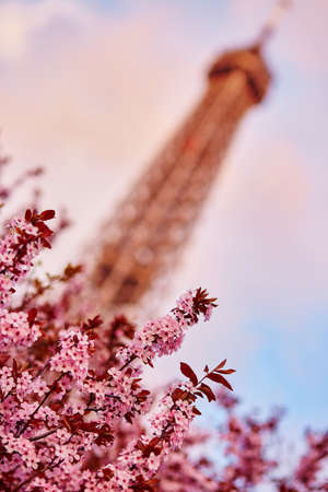 bloomy: Spring in Paris. Beautiful cherry blossom tree and the Eiffel Tower. Focus on flowers Stock Photo
