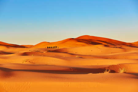 animales del desierto: Caravana de camellos atravesando las dunas de arena en el desierto del Sahara, Merzouga, Marruecos